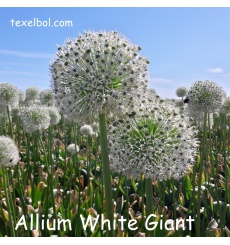 allim_white_giant-1