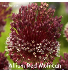 allium_red_mohican_-1