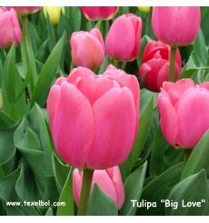 tulipa_big_love_2__tekst