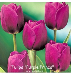 tulipa_purple_prince_2