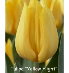 yellow_flight-2