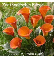 zanthedeschia_fuego-1_1772987770