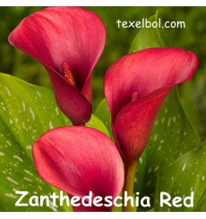 zanthedeschia_red-2