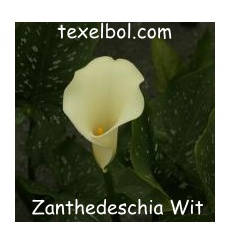 zanthedeschia_wit-1