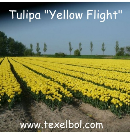 yellow_flight
